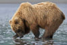 Coastal brown bear forages for razor clams in sand flats at extreme low tide.  Grizzly bear. Lake Clark National Park, Alaska, USA. Image #19140