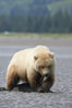 Juvenile female brown bear forages for razor clams in sand flats at extreme low tide.  Grizzly bear. Lake Clark National Park, Alaska, USA. Image #19141
