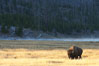Bison grazes amid grass fields along the Madison River. Yellowstone National Park, Wyoming, USA. Image #19602