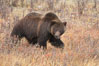 Grizzly bear, autumn, fall, brown grasses. Lamar Valley, Yellowstone National Park, Wyoming, USA. Image #19614