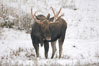 A male moose, bull moose, on snow covered field, near Cooke City. Yellowstone National Park, Wyoming, USA. Image #19681