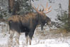 A male moose, bull moose, on snow covered field, near Cooke City. Yellowstone National Park, Wyoming, USA. Image #19682