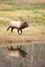 Male elk bugling during the fall rut. Large male elk are known as bulls. Male elk have large antlers which are shed each year. Male elk engage in competitive mating behaviors during the rut, including posturing, antler wrestling and bugling, a loud series of screams which is intended to establish dominance over other males and attract females. Madison River, Yellowstone National Park, Wyoming, USA. Image #19697