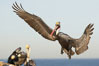 Brown pelican slows to land, spreading its large wings wide to brake. La Jolla, California, USA. Image #20052