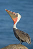 Brown pelican raising its bill in a head throw to  stretch is throat.  Winter plumage, non-mating coloration. La Jolla, California, USA. Image #20155
