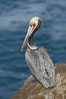 Brown pelican portrait, resting on sandstone cliffs beside the sea, winter mating plumage with distinctive dark brown nape and red gular throat pouch. La Jolla, California, USA. Image #20157