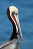 Brown pelican portrait, winter mating plumage with distinctive dark brown nape and red gular throat pouch. La Jolla, California, USA. Image #20158