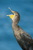Double-crested cormorant. La Jolla, California, USA. Image #20159