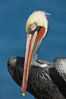 Brown pelican portrait, winter mating plumage with distinctive dark brown nape and red gular throat pouch. La Jolla, California, USA. Image #20168