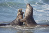 Male elephant seals (bulls) rear up on their foreflippers and fight in the surf for access for mating females that are in estrous.  Such fighting among elephant seals can take place on the beach or in the water.  They bite and tear at each other on the neck and shoulders, drawing blood and creating scars on the tough hides. Piedras Blancas, San Simeon, California, USA. Image #20370