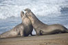 Male elephant seals (bulls) rear up on their foreflippers and fight for territory and harems of females.  Bull elephant seals will haul out and fight from December through March, nearly fasting the entire time as they maintain their territory and harem.  They bite and tear at each other on the neck and shoulders, drawing blood and creating scars on the tough hides. Piedras Blancas, San Simeon, California, USA. Image #20377