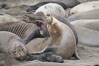 A bull elephant seal forceably mates (copulates) with a much smaller female, often biting her into submission and using his weight to keep her from fleeing.  Males may up to 5000 lbs, triple the size of females.  Sandy beach rookery, winter, Central California. Piedras Blancas, San Simeon, California, USA. Image #20388