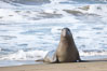 Bull elephant seal exits the water to retake his position on the beach.  He shows considerable scarring on his chest and proboscis from many winters fighting other males for territory and rights to a harem of females.  Sandy beach rookery, winter, Central California. Piedras Blancas, San Simeon, California, USA. Image #20394