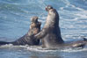 Male elephant seals (bulls) rear up on their foreflippers and fight in the surf for access for mating females that are in estrous.  Such fighting among elephant seals can take place on the beach or in the water.  They bite and tear at each other on the neck and shoulders, drawing blood and creating scars on the tough hides. Piedras Blancas, San Simeon, California, USA. Image #20407