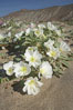 Dune primrose blooms in spring following winter rains.  Dune primrose is a common ephemeral wildflower on the Colorado Desert, growing on dunes.  Its blooms open in the evening and last through midmorning.  Anza Borrego Desert State Park. Anza-Borrego Desert State Park, Anza Borrego, California, USA. Image #20467