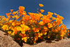 California poppies cover the hills in a brilliant springtime bloom. Elsinore, USA. Image #20491