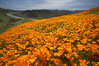 California poppies cover the hills in a brilliant springtime bloom.  Interstate 15 I-15 is seen in the distance. Elsinore, USA. Image #20494