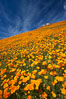 California poppies cover the hillsides in bright orange, just months after the area was devastated by wildfires. Del Dios, San Diego, California, USA. Image #20499