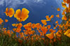 California poppy plants viewed from the perspective of a bug walking below the bright orange blooms. Del Dios, San Diego, USA. Image #20539