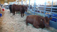 Cows in the livestock barn. Del Mar Fair, Del Mar, California, USA. Image #20858