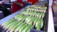 Grilled corn, corn cobs. Del Mar Fair, Del Mar, California, USA. Image #20863