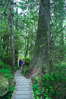 Hiker admires the temperate rainforest along the Rainforest Trail in Pacific Rim NP, one of the best places along the Pacific Coast to experience an old-growth rain forest, complete with western hemlock, red cedar and amabilis fir trees. Moss gardens hang from tree crevices, forming a base for many ferns and conifer seedlings. Rainforest Trail, Pacific Rim National Park, British Columbia, Canada. Image #21054