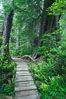 Rainforest Trail in Pacific Rim NP, one of the best places along the Pacific Coast to experience an old-growth rain forest, complete with western hemlock, red cedar and amabilis fir trees. Moss gardens hang from tree crevices, forming a base for many ferns and conifer seedlings. Rainforest Trail, Pacific Rim National Park, British Columbia, Canada. Image #21057
