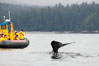 Gray whale raising its fluke (tail) in front of a boat of whale watchers before diving to the ocean floor to forage for crustaceans, Cow Bay, Flores Island, near Tofino, Clayoquot Sound, west coast of Vancouver Island. British Columbia, Canada. Image #21184