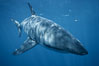 A great white shark swims underwater through the ocean at Guadalupe Island. Guadalupe Island (Isla Guadalupe), Baja California, Mexico. Image #21348