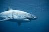 A great white shark swims underwater through the ocean at Guadalupe Island. Guadalupe Island (Isla Guadalupe), Baja California, Mexico. Image #21349