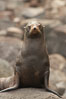 Guadalupe fur seal, hauled out upon volcanic rocks along the shoreline of Guadalupe Island. Guadalupe Island (Isla Guadalupe), Baja California, Mexico. Image #21352