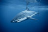 Great white shark, underwater. Guadalupe Island (Isla Guadalupe), Baja California, Mexico. Image #21358