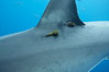 Two satellite tags, below dorsal fin of great white shark.  The tags record the sharks movements, relaying data to researchers via satellite. Guadalupe Island (Isla Guadalupe), Baja California, Mexico. Image #21391