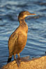 Brandt's cormorant in early morning golden sunrise light, on the Monterey breakwater rocks. Monterey, California, USA. Image #21594
