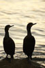 Brandt's cormorant in early morning golden sunrise light, on the Monterey breakwater rocks. Monterey, California, USA. Image #21599