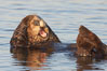 A sea otter, resting on its back, grooms the fur on its head.  A sea otter depends on its fur to keep it warm and afloat, and must groom its fur frequently. Elkhorn Slough National Estuarine Research Reserve, Moss Landing, California, USA. Image #21605