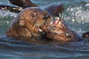 Sea otters mating.  The male holds the female's head or nose with his jaws during copulation. Visible scars are often present on females from this behavior.  Sea otters have a polygynous mating system. Many males actively defend territories and will mate with females that inhabit their territory or seek out females in estrus if no territory is established. Males and females typically bond for the duration of estrus, or about 3 days. Elkhorn Slough National Estuarine Research Reserve, Moss Landing, California, USA. Image #21606