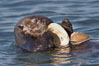 A sea otter eats a clam that it has taken from the shallow sandy bottom of Elkhorn Slough.  Because sea otters have such a high metabolic rate, they eat up to 30% of their body weight each day in the form of clams, mussels, urchins, crabs and abalone.  Sea otters are the only known tool-using marine mammal, using a stone or old shell to open the shells of their prey as they float on their backs. Elkhorn Slough National Estuarine Research Reserve, Moss Landing, California, USA. Image #21609