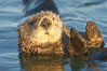 A sea otter resting, holding its paws out of the water to keep them warm and conserve body heat as it floats in cold ocean water. Elkhorn Slough National Estuarine Research Reserve, Moss Landing, California, USA. Image #21614