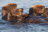 Sea otters, resting on the surface by lying on their backs, in a group known as a raft. Elkhorn Slough National Estuarine Research Reserve, Moss Landing, California, USA. Image #21649