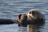 A sea otter, resting on its back, holding its paw out of the water for warmth.  While the sea otter has extremely dense fur on its body, the fur is less dense on its head, arms and paws so it will hold these out of the cold water to conserve body heat. Elkhorn Slough National Estuarine Research Reserve, Moss Landing, California, USA. Image #21656