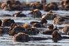 A raft of sea otters.  A raft is a congregation of sea otters, usually in a resting mode.  While rafting sea otters appear to suggest a tendancy toward a group social structure, sea otters can also be solitary animals. Elkhorn Slough National Estuarine Research Reserve, Moss Landing, California, USA. Image #21657