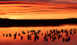 Snow geese rest on a still pond in rich orange and yellow sunrise light.  These geese have spent their night's rest on the main empoundment and will leave around sunrise to feed in nearby corn fields. Bosque del Apache National Wildlife Refuge, Socorro, New Mexico, USA. Image #21802