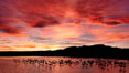 Sunset at Bosque del Apache National Wildlife Refuge, with sandhill cranes silhouetted in reflection in the calm pond.  Spectacular sunsets at Bosque del Apache, rich in reds, oranges, yellows and purples, make for striking reflections of the thousands of cranes and geese found in the refuge each winter. Bosque del Apache National Wildlife Refuge, Socorro, New Mexico, USA. Image #21804