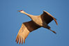 A sandhill crane in flight, spreading its wings wide which can span up to 6 1/2 feet. Bosque del Apache National Wildlife Refuge, Socorro, New Mexico, USA. Image #21807