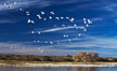 "Snow geese, and one of the ""crane pools"" in the northern part of Bosque del Apache NWR. Bosque del Apache National Wildlife Refuge, Socorro, New Mexico, USA. Image #21811"