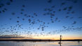 "Snow geese at dawn.  Snow geese often ""blast off"" just before or after dawn, leaving the ponds where they rest for the night to forage elsewhere during the day. Bosque del Apache National Wildlife Refuge, Socorro, New Mexico, USA. Image #21879"