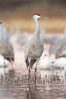 Sandhill cranes reflected in still waters. Bosque del Apache National Wildlife Refuge, Socorro, New Mexico, USA. Image #21880