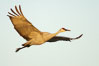 A sandhill crane in flight, spreading its wings wide which can span up to 6 1/2 feet. Bosque del Apache National Wildlife Refuge, Socorro, New Mexico, USA. Image #21881