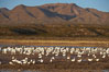 Snow geese gather to rest and preen. Bosque del Apache National Wildlife Refuge, Socorro, New Mexico, USA. Image #21883